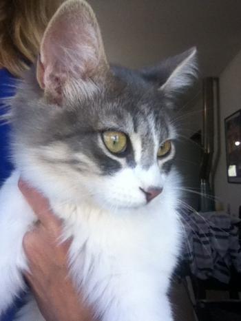 Beautiful Bailey cat needs a home