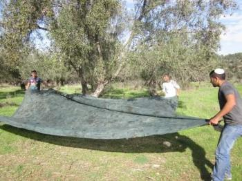 Join the Fun! Olive Picking + an inside tour of the olive press