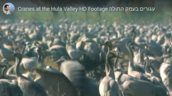 WATCH: Hula Valley Birds, In Honor of Annual Festival Nov. 22-28