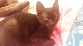 Black male kitten for adoption