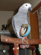 FULLY WEANED AFRICAN GREY BABIES FOR SALE